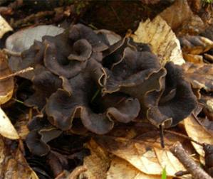 """""""Craterellus cornucopioides"""